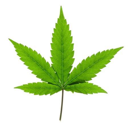 Hoja de cannabis aislada sobre fondo blanco.