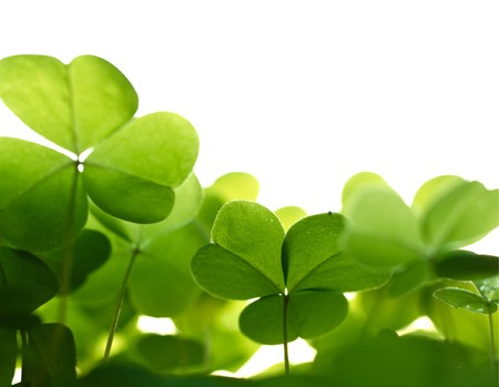 patric: Clover plant macro shot, isolated on white background.