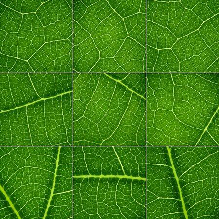 Green backgrounds set. Oak leaf closeup, super macro. photo