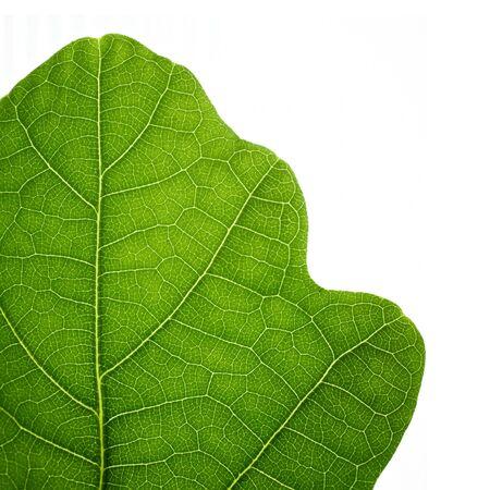 Green oak leaf. Closeup, isolated. photo