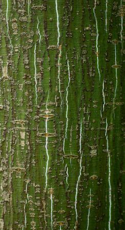 alder tree: Bark of young alder tree Stock Photo