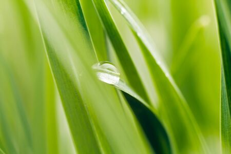 Dew on grass blade, sahllow DOF photo