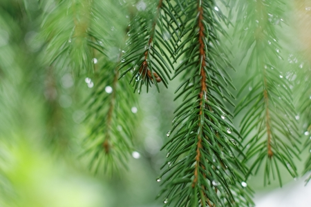 Coniferous tree branch with water drops. Macro shot Stock Photo - 18586182