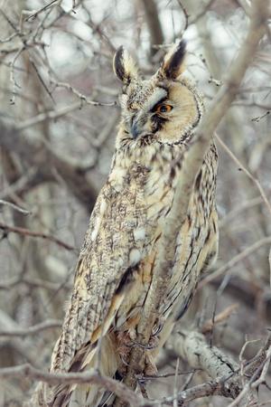feathering: Owl closeup shot