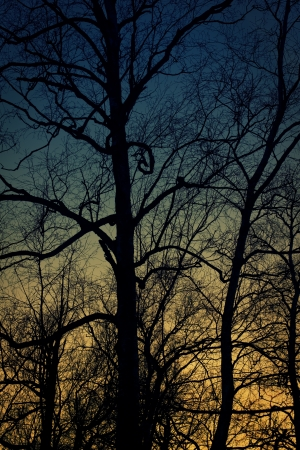 Silhouette of birch tree with scary branche. Sunset time. photo