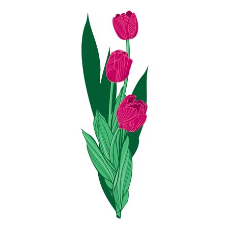 three crimson tulips with leaves vector illustration isolated on white background.