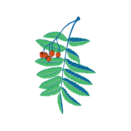 A branch of rowan tree with leaves and berries. It can be used as a design element in projects and compositions. Vector illustration