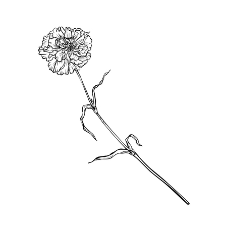 Carnation flower on a long stem. Vector graphic monochrome isolated image. 일러스트