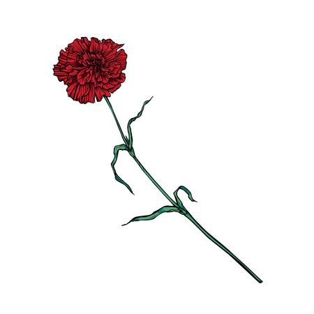 Red carnation flower on a long stem. Vector color isolated image 일러스트