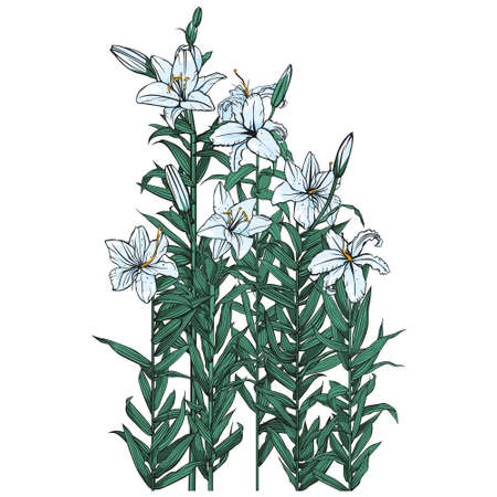 Six blooming white lilies. Vector isolated image. Illustration