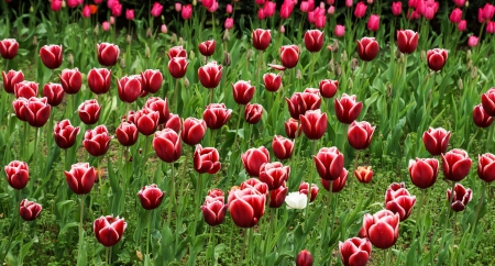 Field of red and white tulips on daylight photo