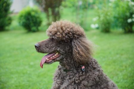 Black dog Royal poodle in the garden