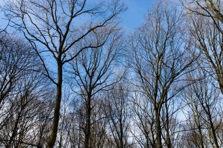 bewitched: Bald tree in winter forest on blue sky