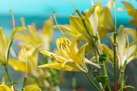 Yellow lily flower in garden  Macro background  photo