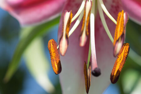 Abstract bright floral backgound  Pink lily  photo