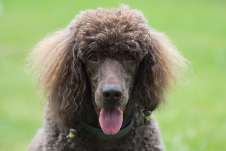 the well groomed: Portrait of black dog Royal poodle with tongue out in the garden
