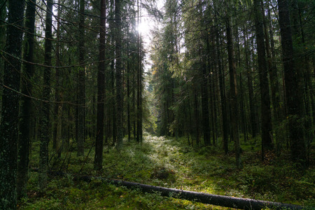 coniferous: Forest with coniferous trees