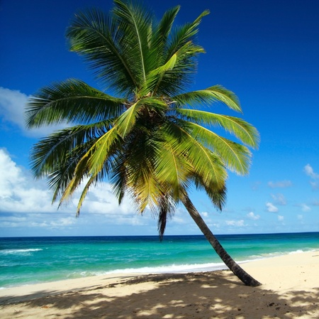 Very beautiful palm on caribbean beach  photo