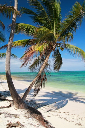 Palm on tropical beach, Dominican Republic photo