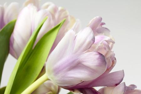 Tulips, macro on white photo