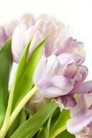 Tulip bouquet, closeup on white photo