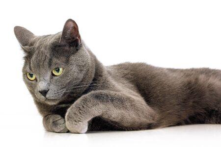 British kitten on the white background photo