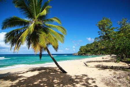 Palm on caribbean beach, Punta Cana photo