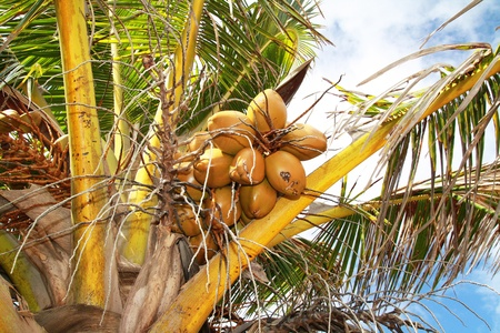 Coconuts branch on palm photo
