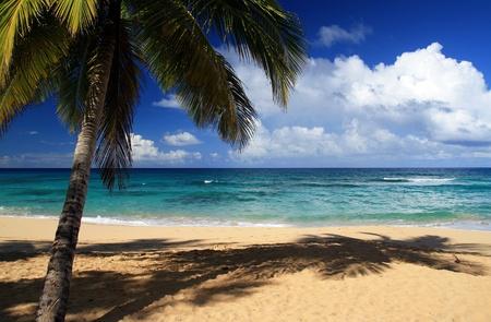 Palm on beautiful caribbean beach, Dominican Republic photo