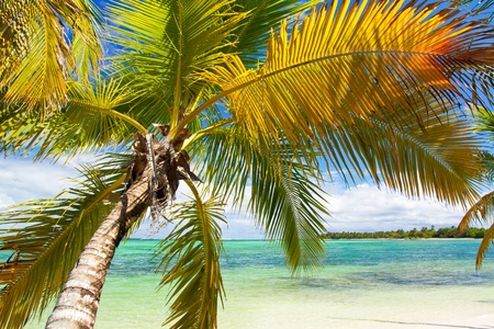 Palm on tropical beach of caribbean sea, paradise photo