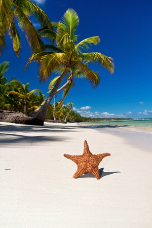 Starfish on caribbean sea beach with palms, Dominican Republic photo