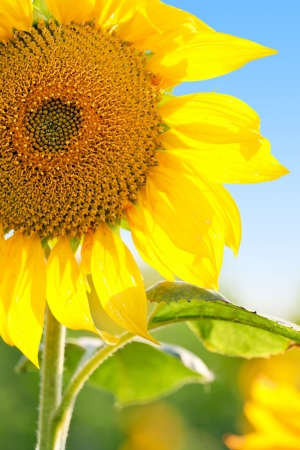 Sunflower in field with blue sky photo
