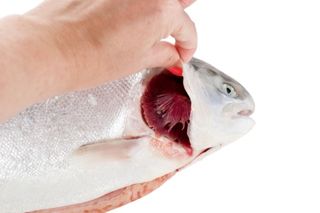 checking ingredients: Checking of freshness of fish, open gills Stock Photo