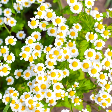 Camomile flowers background