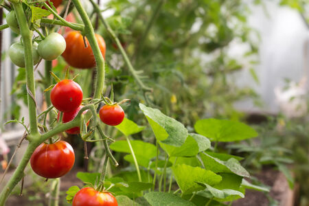 hothouse: Red tomatoes in hothouse, closeup