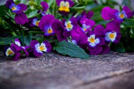 Beautiful fresh violet heartsease on old wooden board photo