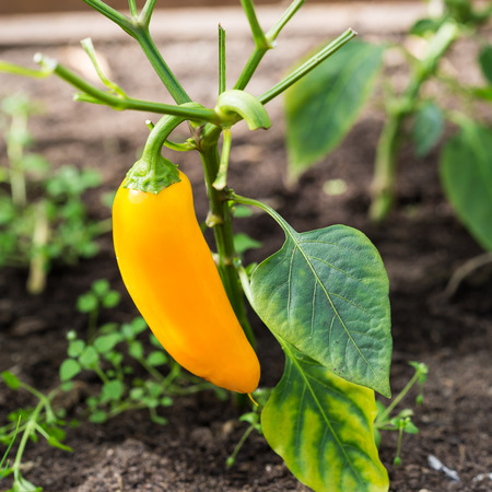 hothouse: Yellow pepper in hothouse, closeup Stock Photo