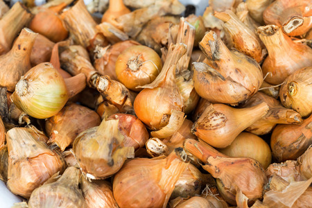 cebollitas: Cebollas fondo