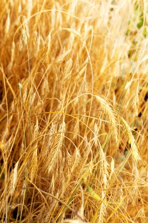 Wheat field closeup photo