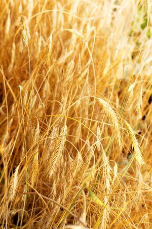 Wheat field closeup photo