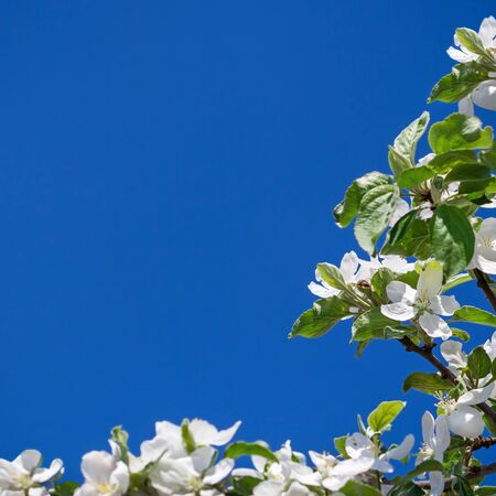 begining: Apple tree white flowers on blue sky background, the begining of spring Stock Photo