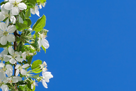 Apple tree white flowers on blue sky background, the begining of spring photo