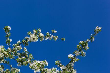 begining: Apple tree fiori bianchi su sfondo blu del cielo, l'inizio della primavera