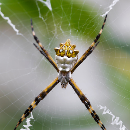 argiope: Black and Yellow Argiope spider on web in the garden
