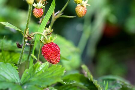 Wild strawberry plant with green leafs and ripe red fruits