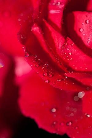 love card: Beautiful rose flower macro shot. Love card