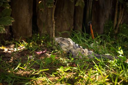 parietal: Iguana in green grass, outdoors