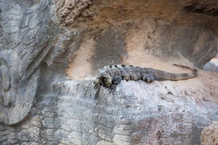kukulkan: Iguana sitting on ruins of El Castillo (The Kukulkan Temple) of Chichen Itza, mayan pyramid in Yucatan, Mexico.