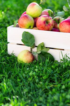 Freshly pickled ripe organic apples in white wooden crate on green grass, outside in garden, nobody Zdjęcie Seryjne