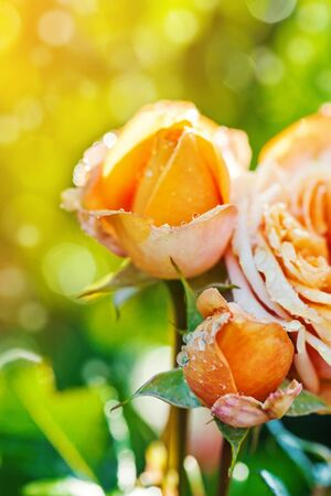 Beautiful rose flower closeup at garden, outdoors. Romantic greeting card for St. Valentines day background Stock Photo